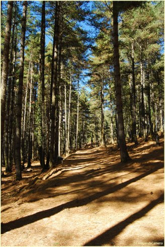 Path through the pine forest