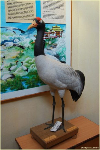 A black-necked crane