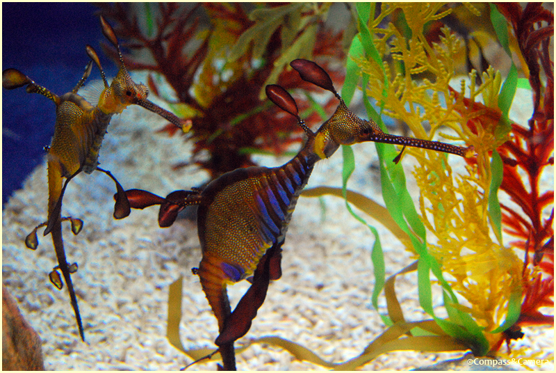 Sea Horse Duet
