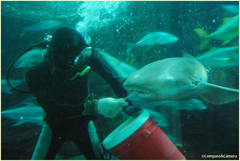 Shark feeding time
