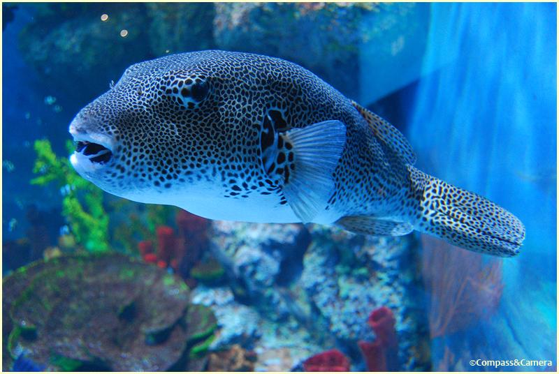 Boxfish at SEA Aquarium Singapore