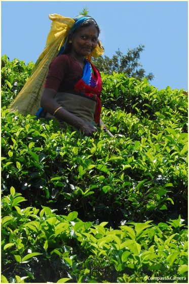 Picking tea on Sunday