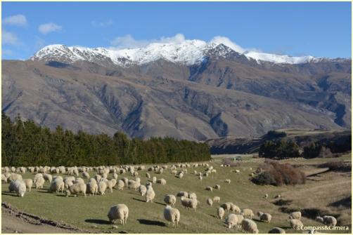 Sheep, sheep, everywhere