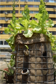 Mummy lettuce
