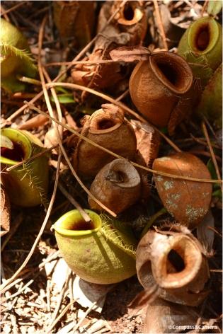 Carnivorous Pitcher Plants