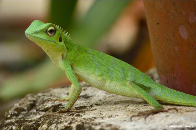 Lizard_04