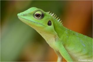 Lizard_08