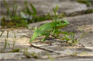 Lizard_13