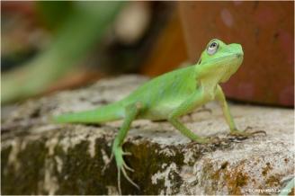 Lizard_18