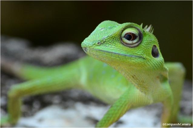 Lizard_29