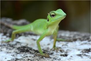 Lizard_32