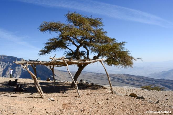 Juniper tree at Wadi Nakhr