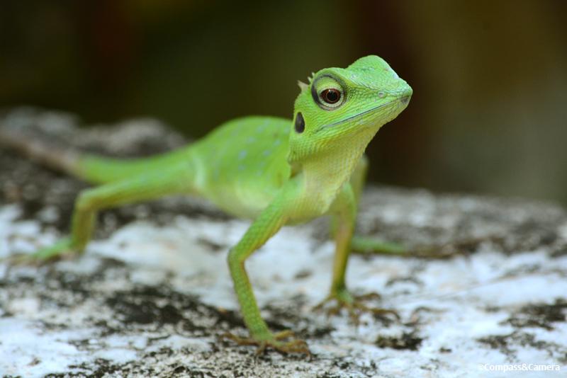 lizard01