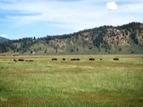 Grazing bison!