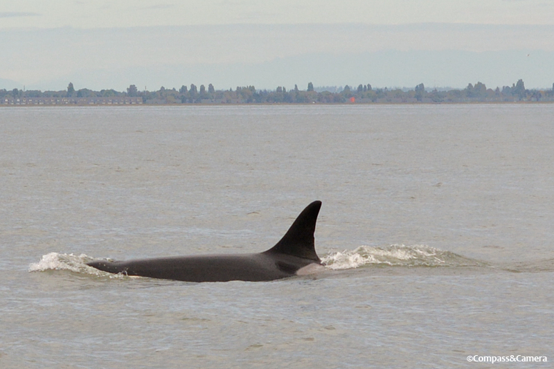 Granny, identified by the small notch in her dorsal fin and gray patch at the base