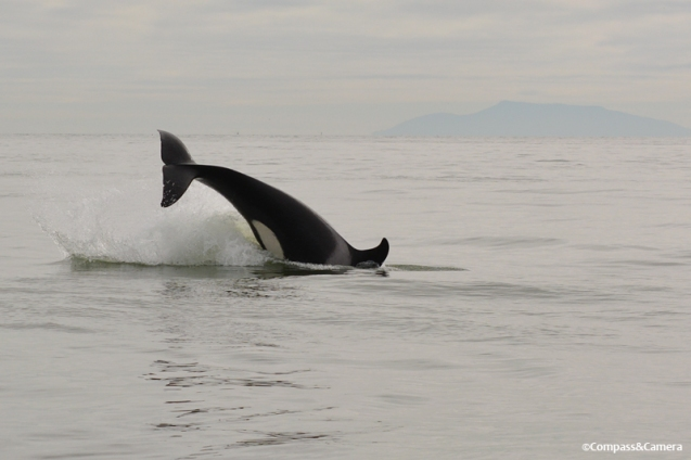 Orca in Vancouver, Canada