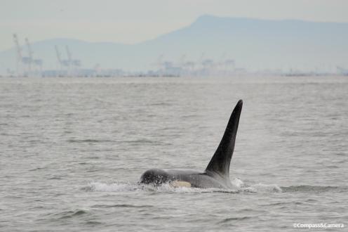 Orca in Vancouver, Canada