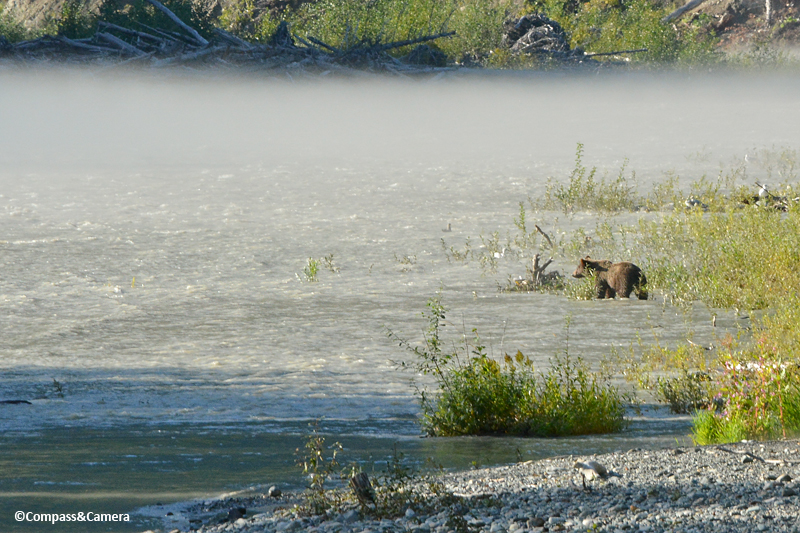 Grizzly bear on the Bella Cool River