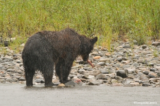 Grizzly bear on the Atnarko River, British Columbia