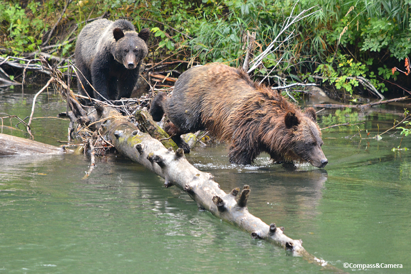Mom and cub fishing for lunch on the Atnarko River