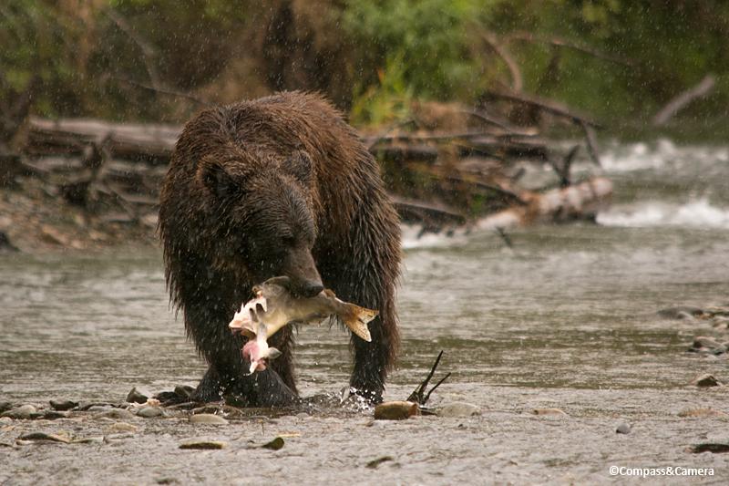 Grizzly bear on the Atnarko River, British Columbia