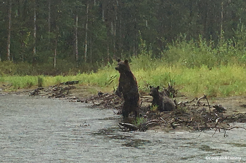 Grizzly mom and cub on the Atnarko River, British Columbia