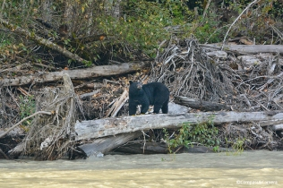 Black bear on the Bella Coola River