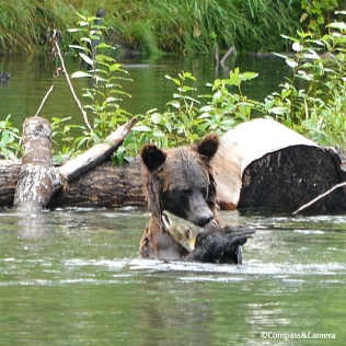 Grizzly fishing :: Bella Coola, B.C.