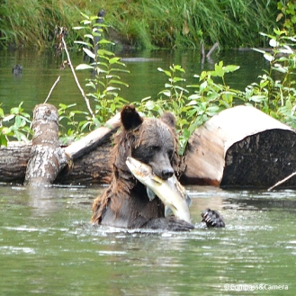 Grizzly fishing :: Bella Coola, B.C.