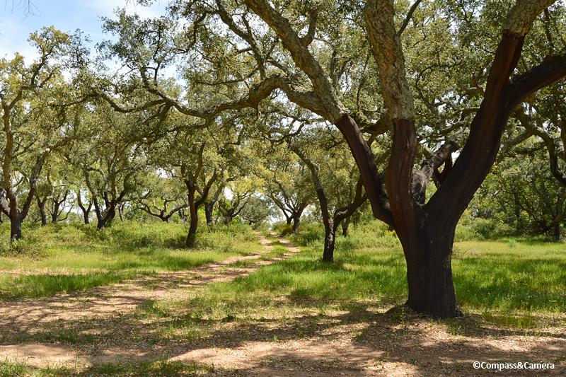 Cork trees in the Alentejo, Portugal