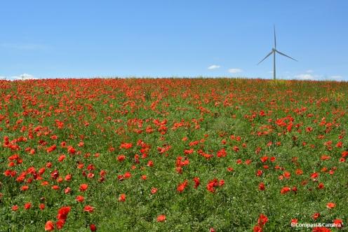 Poppies in Ardales, Spain