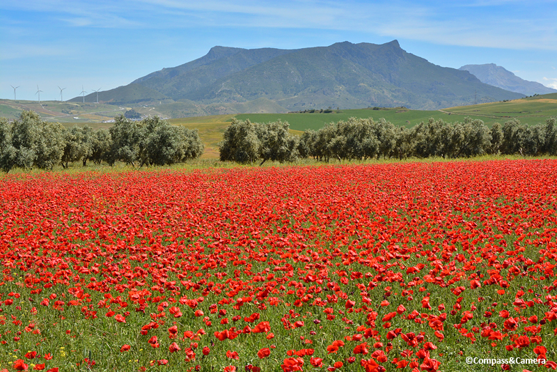 Poppies in Ardales, Spain