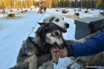 Sled dogs at the ranch