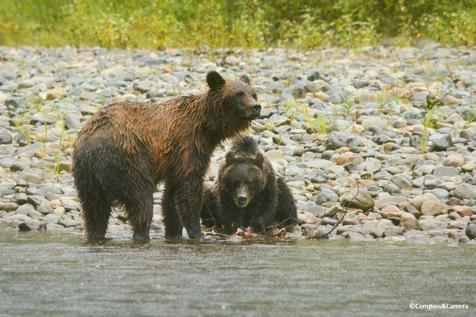 Bella Coola Grizzly Bears