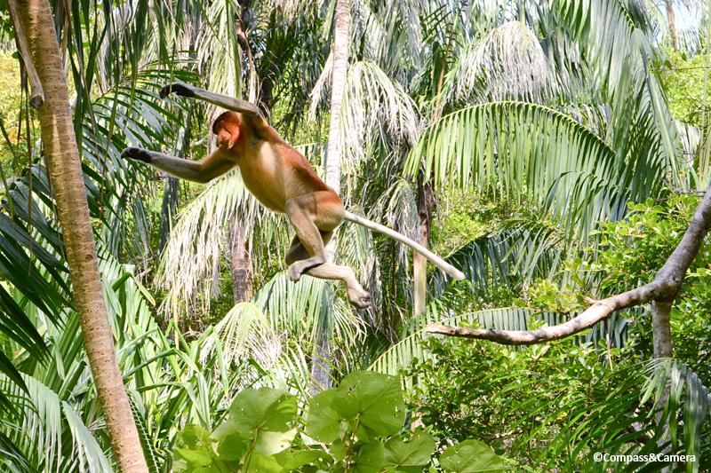 Proboscis Money : Borneo