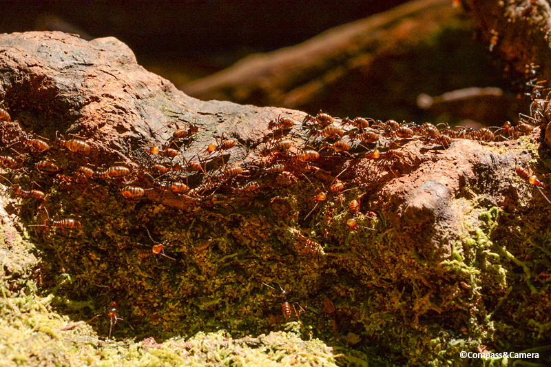 Ants! : Borneo