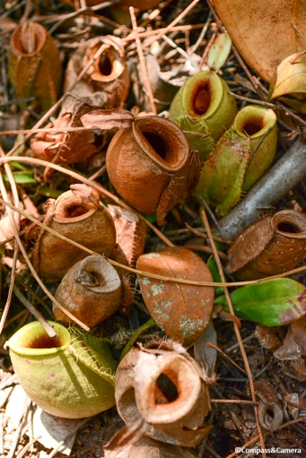 Pitcher Plants : Borneo