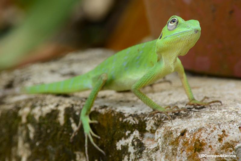 Borneo Lizard
