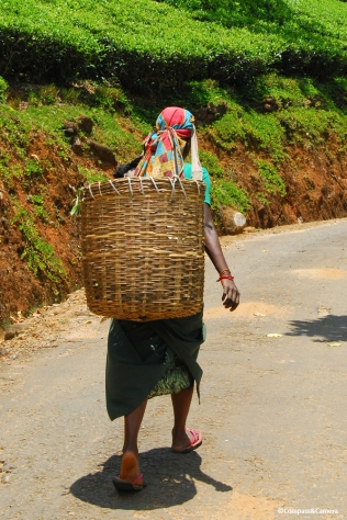 On her way to pick tea leaves