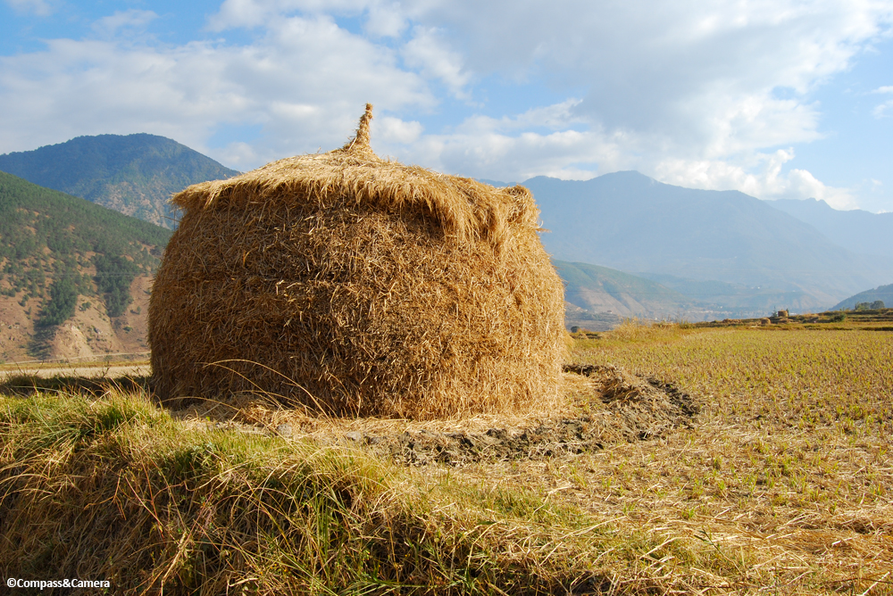 Rice Harvest :: Teoprongchu, Bhutan