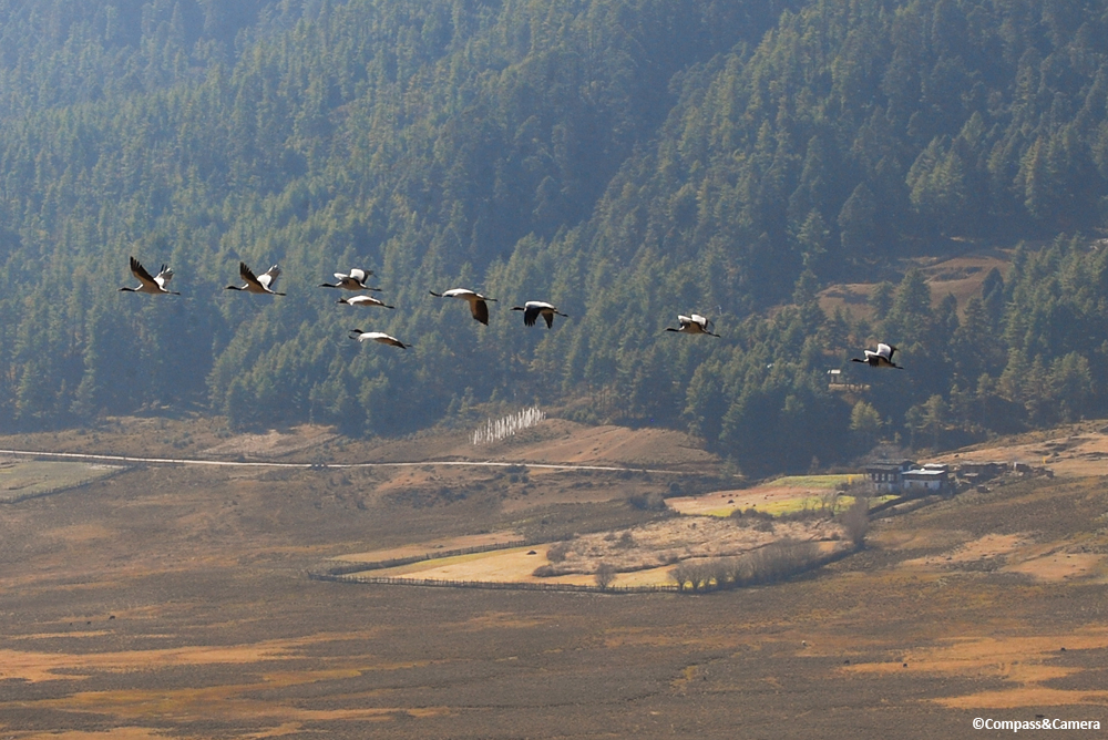 Black-necked cranes, Bhutan