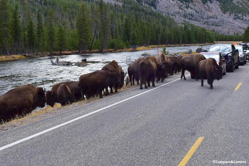 Rush Hour, Yellowstone National Park