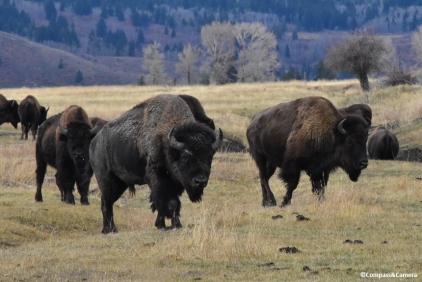 Grand Teton Bison Herd